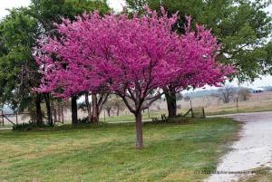 redbud-tree